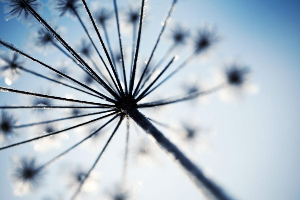 Hogweed seed head against blue sky
